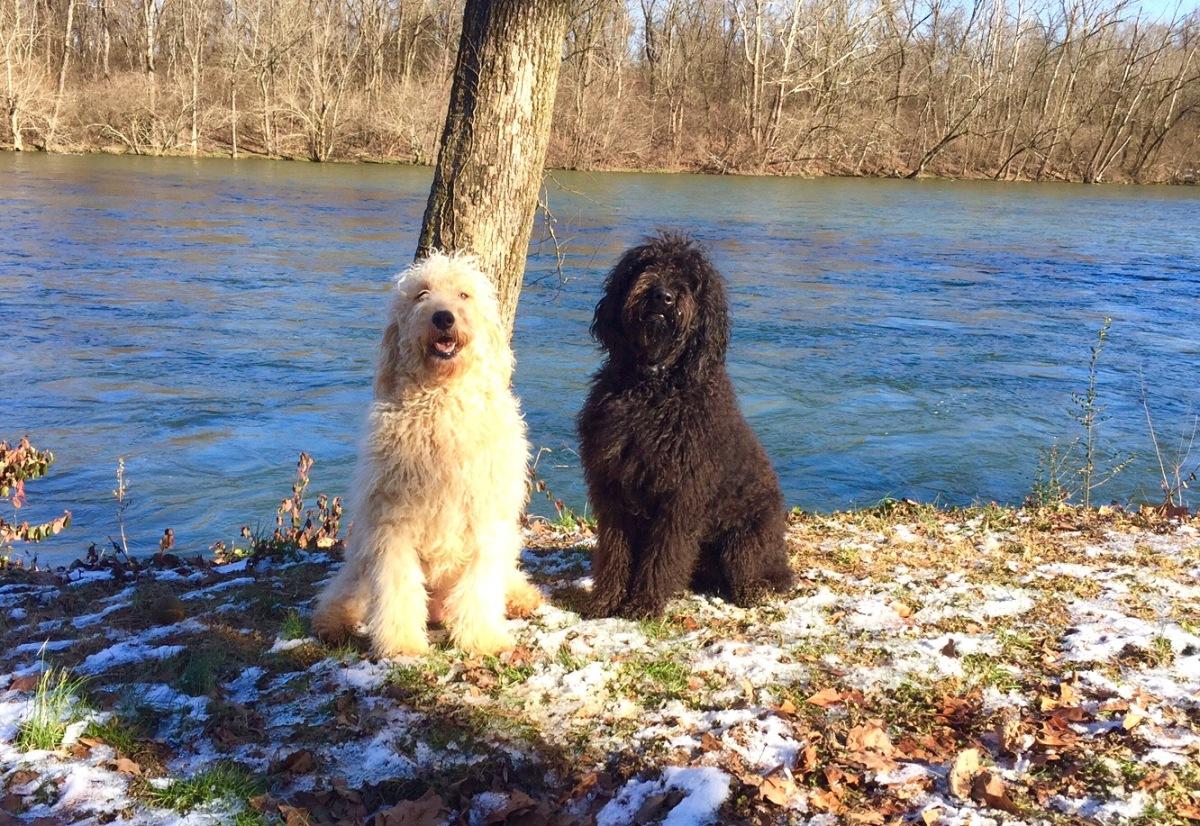 Holston River Goldendoodles | Goldendoodles for sale in