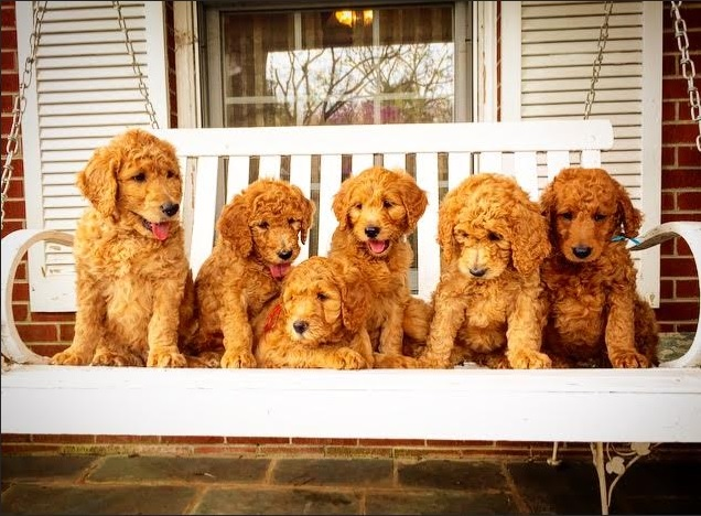 Holston River Goldendoodles